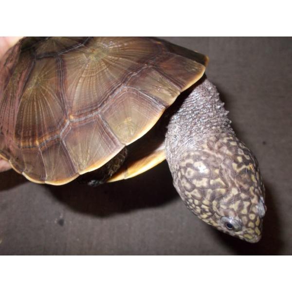 画像1: コシヒロカエルガメ(メス)