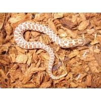 セイブシシバナヘビ(レッド)オス