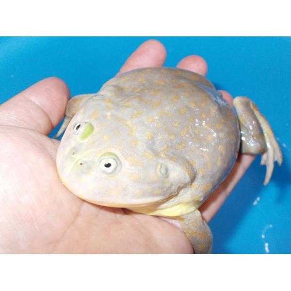 画像1: マルメタピオカガエル(XL)